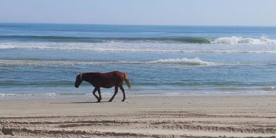 Back Beach Wild Horse Tours Corolla NC photo