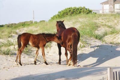 Corolla wild horses