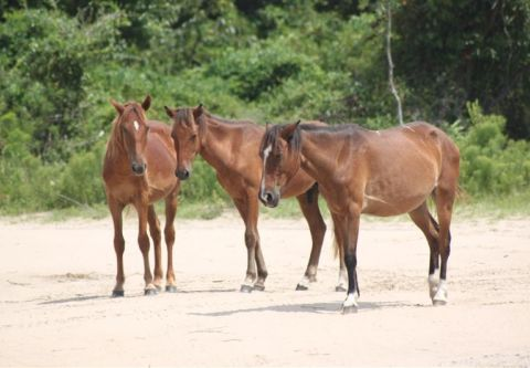Back Beach Wild Horse Tours Corolla NC, Open Air Safari Afternoon Tours